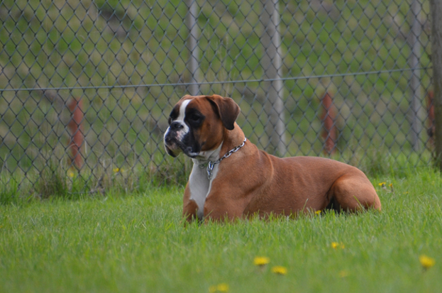 How to Take Care of a Boxer Dog